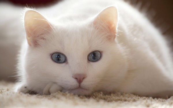 Beautiful-White-Cat-Posing-600x375