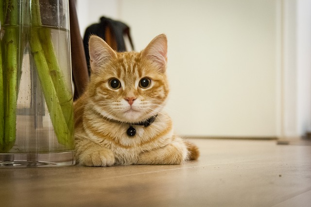 young-cat-718785_640