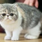 exotic-shorthair-cat1