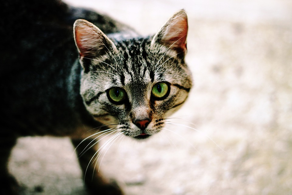 kitten-1227480_960_720