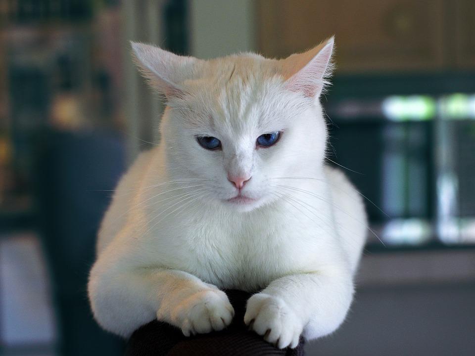 cat-996190_960_720