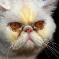 【閲覧注意】世界のブサイク猫ランキングトップ10 これが猫・・・!?